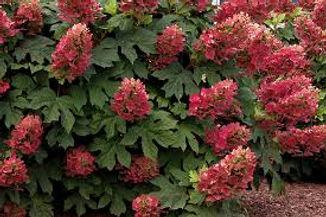 hydrangea ruby3.jpg