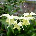 Epimedium flower of sulfur