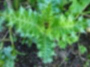 Acanthus sennii étonnante plante à floraison rouge orangée