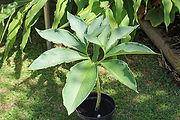 typhonium feuille