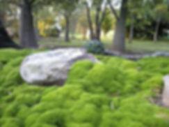 Scleranthus-Biflorus3.jpg