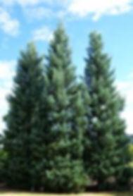 sequoiadendron4.jfif