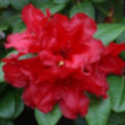 Rhododendron-scarlet3.jpg