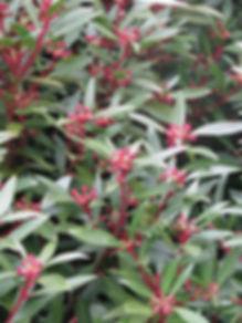 Tasmannia