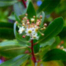 Poivre de Tasmanie
