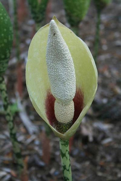 amorpho dunni fleur.jpg