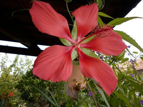 Hibiscus coccineus 4.JPG
