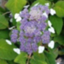 hydrangea aspera3.jpg
