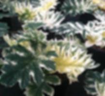 acanthus white water2.jpg