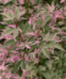 Acer shirazz