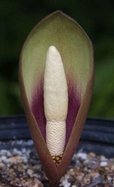 Amorpho yuloensis lao.jpg