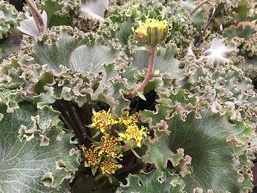 farfugium wavy gravy1.jpg