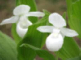 cypripedium-reginae-alba.jpg
