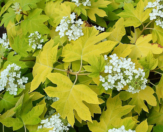 Hydrangea quercyfolia little honey
