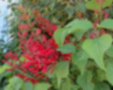 erythrina1.jpg