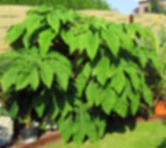 Vivace arbustive tetrapanax papyrifera rex