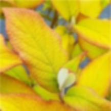 hydrangea aspera1.jpg