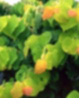 cercis canadiensis1.jpg