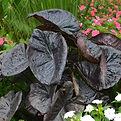 Colocasia esculenta Kona coffe