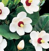 magnolia siboldii4.jpg