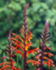 chasmanthe-floribunda-1.jpg