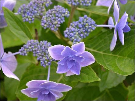 hortensia star gazer1.jpg