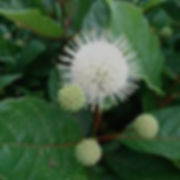 Cephalanthus3.jpg