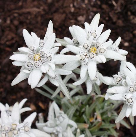 0000128_leontopodium-alpinum-edelweiss_5