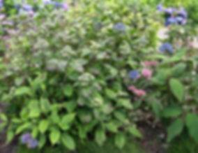 Dichroa febrifuga bleu