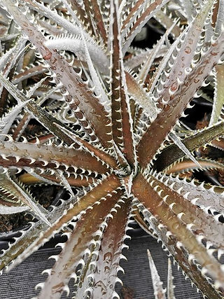 Dyckia Brittle star