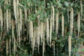 Garrya elliptica
