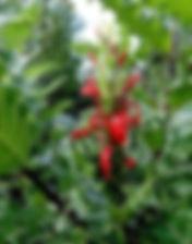 acanthus sennii fleur rouge