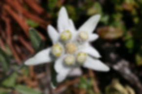 Leontopodium_alpinum_1.jpg