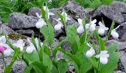 cypripedium-reginae-alba1.jpg