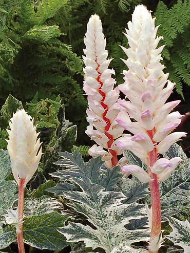 acanthus white water1.jpg