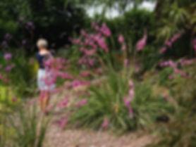 Dierama pulcherimum (canne à peche des anges, vivace bulbeuse de la famille des iridacées