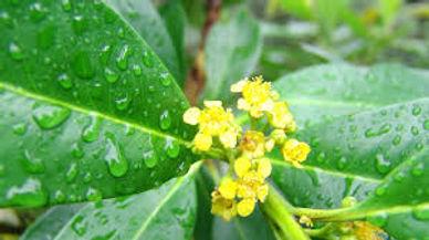tristanopsis2.jpg