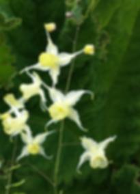 Epimedium-flowers-of-sulphur3.png