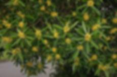 tristanopsis3.jpg