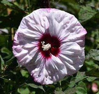 hibiscus cheesecake3.jpg