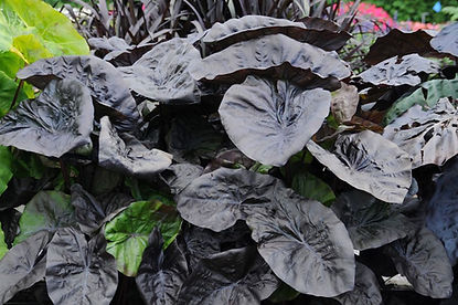 Colocasia-esculenta-Kona-Coffee1.jpg