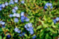 ceratostigma willmotianum