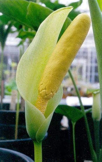 amorphophallus albus3.jpg