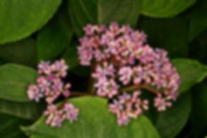 Dichroa febrifuga en fleurs roses