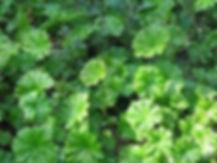 darmera peltata1.jpg
