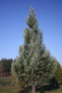 Sequoiadendron3.jpg