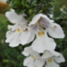 Prostanthera-cuneata2.jpg