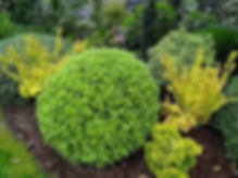 pitttosporum1.jpg