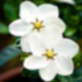Gardenia de jardin, gardenia d'exterieur, fleur parfum jasmin, gardenia kleim's hardy