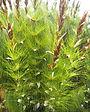 Elegia capensis
